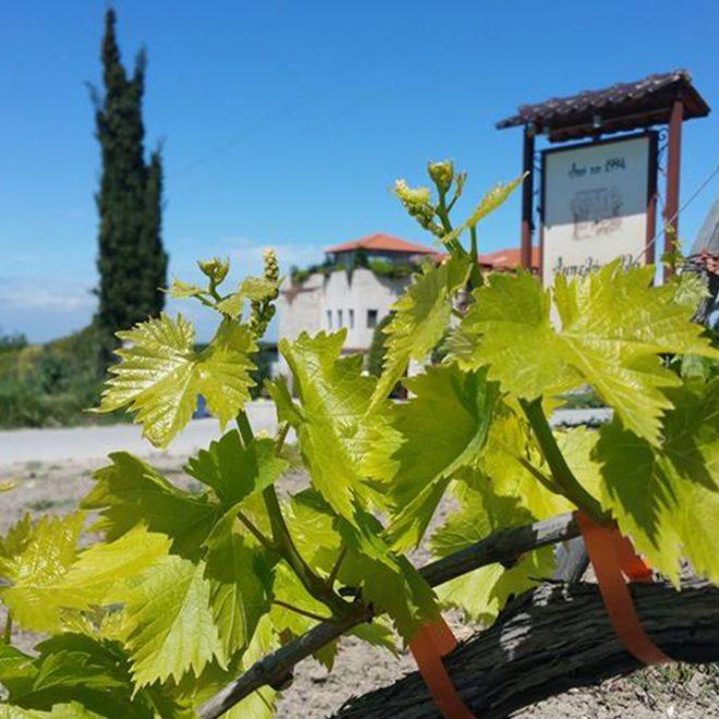 Druivenbladeren met op de achtergrond Marianna's
