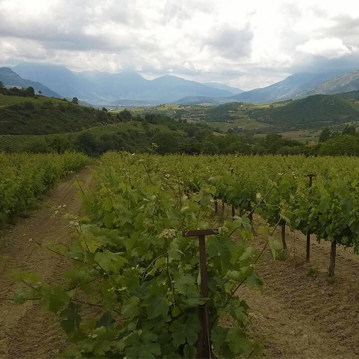 De wijngaarden van Lantides Winery op de Peloponnesos
