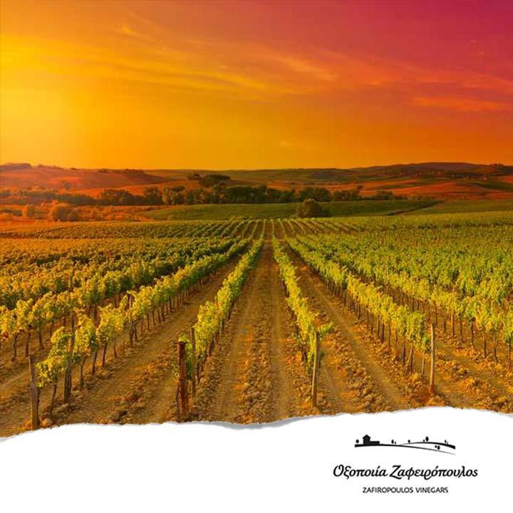 De basis van rode wijnazijn: goede druiven