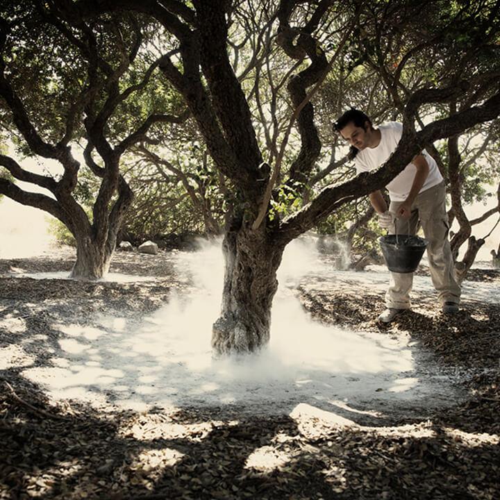 De mastiekbomen op Chios worden voorzien van nieuwe kalk