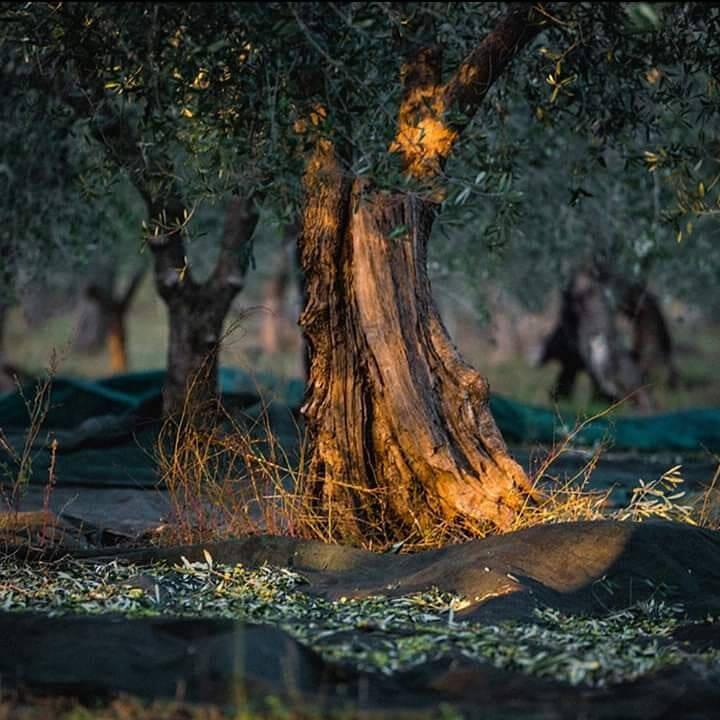 Olijfboomgaard in Kreta