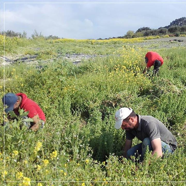 Griekse kruiden oogsten op Kreta