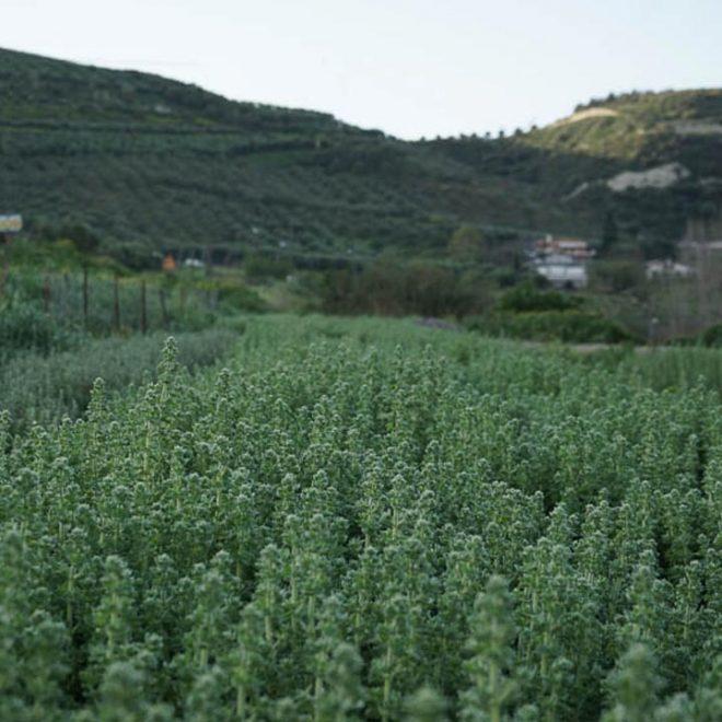 Griekse oregano geteeld op Kreta van Iliostasio