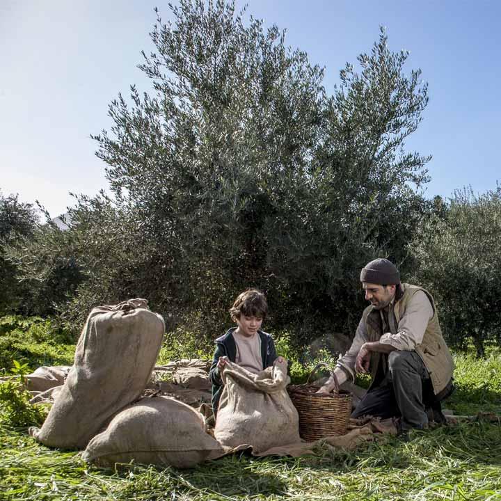 De ambachtelijke olijfoogst van Abea Oliva in Griekenland